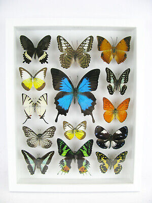 14 Beautiful Butterflies In 3D Box - Real - Taxidermy - One-of-a-kind - Nice 02 • 169.95£