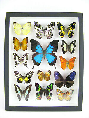 14 Beautiful Butterflies In 3D Box - Real - Taxidermy - One-of-a-kind - Nice 10 • 169.95£