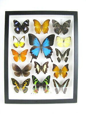 14 Beautiful Butterflies In 3D Box - Real - Taxidermy - One-of-a-kind - Nice 11 • 169.95£