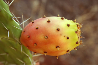 Opuntia Ficus Indica Prickly Pear 2 Variety 100 Seeds • 14.18£