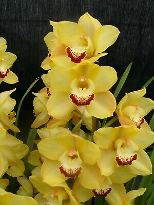 AU17 • Buy Cymbidium Lunakira 'Gleam' 4 Inch (100mm)