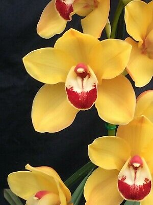 AU20 • Buy Cymbidium Lunar Sands 'Intense Gold' 4 Inch (100mm)