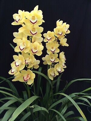 AU40 • Buy Cymbidium Dulcet 'Lemon Sherbet' 5.5 Inch (140mm) Pot