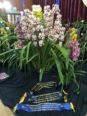 AU18 • Buy Cymbidium Kimberley Splash 'Teepee' 4 Inch (100mm)