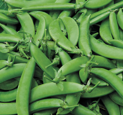 £2.94 • Buy 100 X PEA 'SUGAR SNAP NAIROBI' SEEDS - SOW MARCH To JUNE -HEAVY YIELDS
