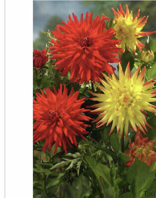 Spring Bulbs Dahlia Cactus Red/Yellow 3 X Tubers • 11.99£