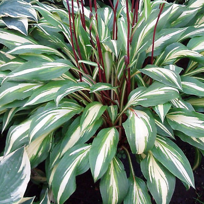 £7.99 • Buy Hosta 'Cherry Berry' Herbaceous Perennial Hardy Plant In 9cm Pot