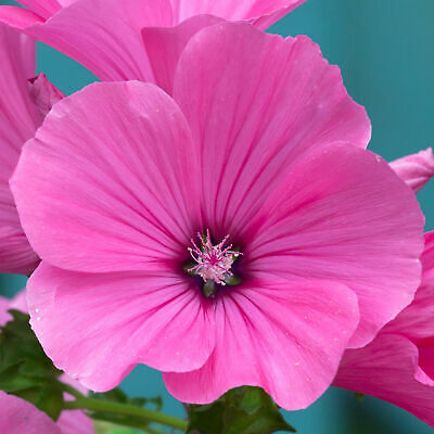 £10.99 • Buy Lavatera Clementii Red Rum - Tree Mallow | Deciduous Potted Garden Shrub