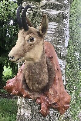£180 • Buy Antique Taxidermy Mounted Deer Head -CHAMOIS..