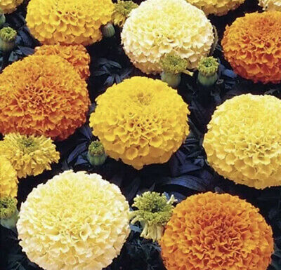 £5.99 • Buy Marigold African Mix Plant In 1L Pot