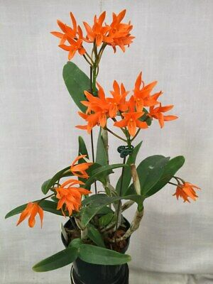 £120 • Buy Rare Cattleya Aurantiaca Guarianthe Orchid Tc/whole Flask