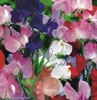 £7.99 • Buy Garden Cottage Sweet Pea Royal Family Mix Plants In 9cm Pot