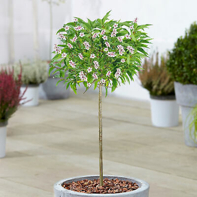 £34.99 • Buy Prunus Nipponica Brilliant   Alpine Cherry Potted Patio Trees For Small Gardens