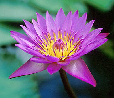 $ CDN3.74 • Buy 10 PURPLE WATER LILY Pad Nymphaea Sp Pond Lotus Flower Seeds *Combined Shipping