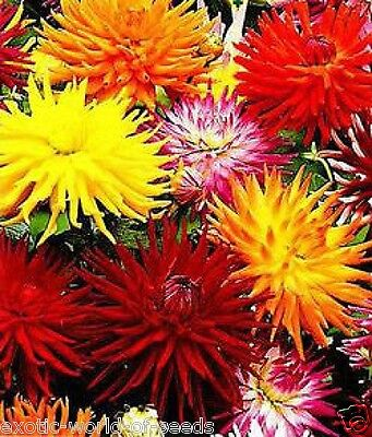 Russian Dahlia Seeds Cactus Type Flowers Mix Colours Mix Hybrids • 2.49£