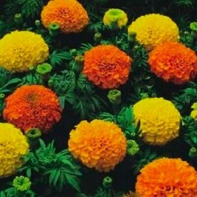 Flower African Marigold Crackerjack Mixed  1900 Flower Seeds • 1.09£