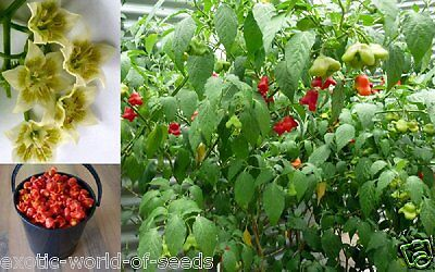 Chilli Pepper Tree Seeds Grow Chilli Tree Upto 500 Red Hot Fruits On One Plant • 2.99£