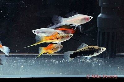 $34.99 • Buy (10) Mixed Swordtails Swordtail Live Tropical Fish Livebearer Guppy Platy Molly