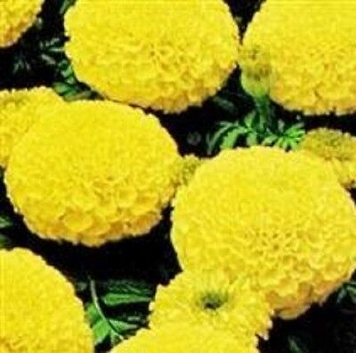 Marigold African - Marvel Yellow - 20 Seeds • 1.25£