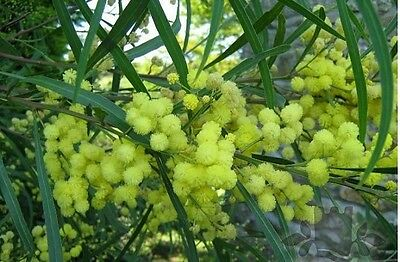 Mimosa Acacia Bush Tree Seeds - Mediterranean Exotic Plant With Yellow Flowers • 2.99£