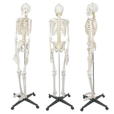 $107.72 • Buy New 5.9' Life Size Human Skeleton Anatomical Medical Recreational Model & Stand