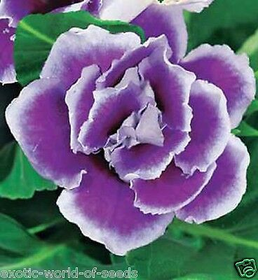 £2.99 • Buy Russian Gloxinia Seeds Unusual Double Blue & White Flowers F1 Hybrids