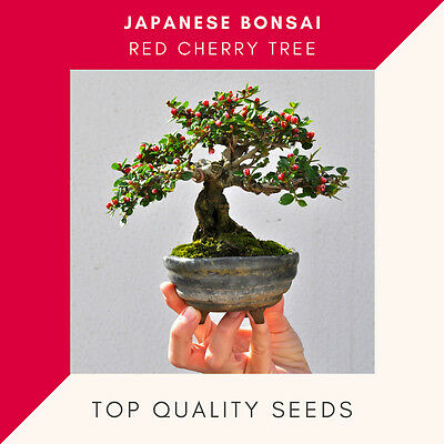 Cherry Bonsai Seeds ORIGINAL Japanese Mini Pot Red Cherry Tree Seed 50 - 100 Pcs • 3.86£