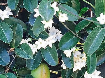 $12.99 • Buy 75 SEEDS - 2019 Harvest STEPHANOTIS FLORIBUNDA-Wedding Plant-Madagascar Jasmine