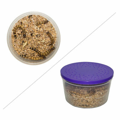 £3.90 • Buy 50g Morio Worms Live Reptile Food Meal Worm Livefood Mealworm Bearded Dragon