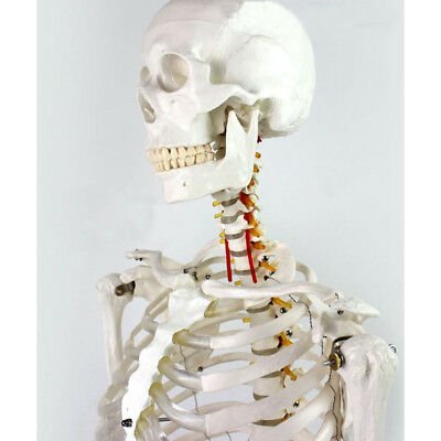 $180.40 • Buy Medical Full Body Anatomical Human Skeleton Model On Stand