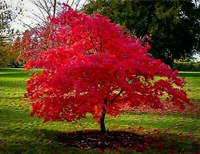 Red Maple Compare Prices On Dealsancom