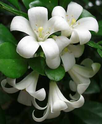 $9.95 • Buy Murraya Paniculata | Mock Orange Jasmine | Satinwood | 10_Seeds