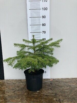 Real Nordman Christmas Tree In A Pot.50cm • 18.99£