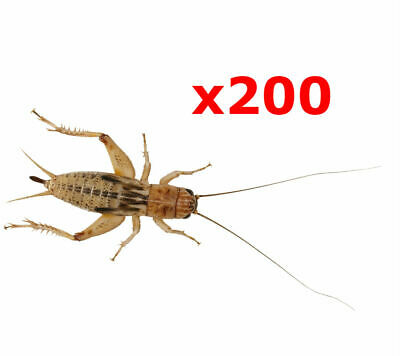£7.24 • Buy 200 X Standard Silent Crickets Live Reptile Food Livefood Bearded Dragon BULK