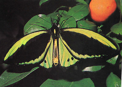 OLD POSTCARD  - BUTTERFLY - Green Birdwing - No 26 Butterfly Conservation • 1.50£