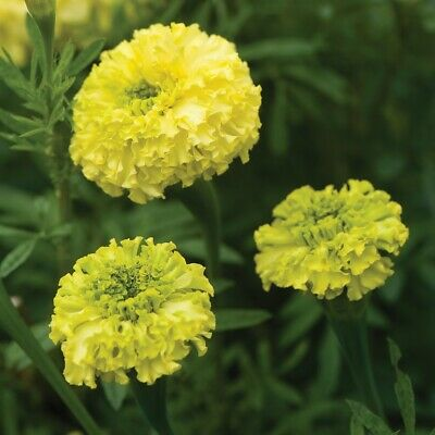 Marigold African - Key Lime - 50 Seeds • 0.99£