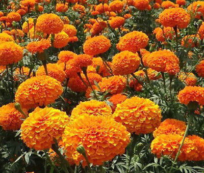 Growing Marigold Crackerjack Seeds African Mix Plant Flower Garden Pot UK • 1.99£