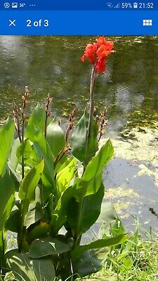 £7.49 • Buy 2x Canna Red Yellow Flower Plants