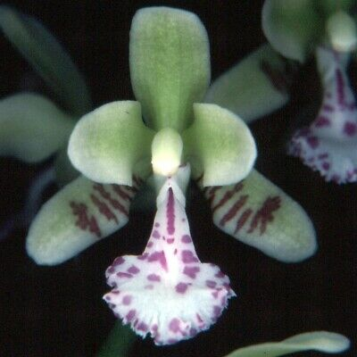 AU30 • Buy Orchid Plant 605. Sediera Japonica Near Blooming Size In 90mm Pot Species