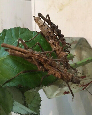 10. STICK INSECT EGGS.     TISAMENUS Sp. CAGAYAN.  PRICKLY   • 2.95£