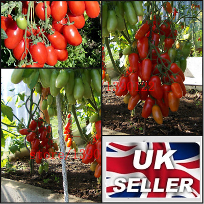 30 Seed Italian Tomato Tree Cherry Unique Vegetable Plum Red Sweet Fruit Garden • 3.20£