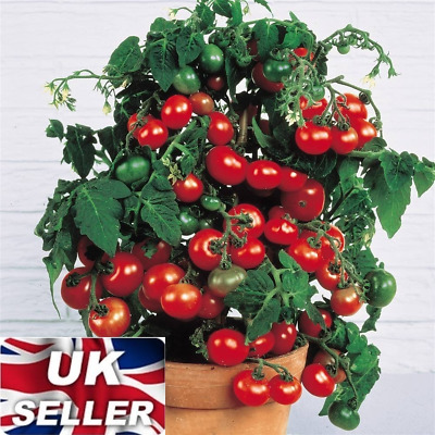50 Seeds Sweet Tomatoes Fresh Organic Cherry Mini Fruit Easy To Plant Vegetabe • 2.99£