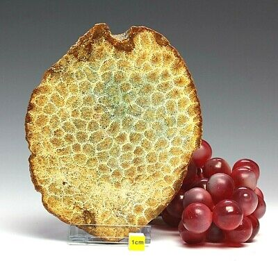 Fossil Coral / Flower Stone Petrified  Polished Slab Specimen 998g • 115.41£
