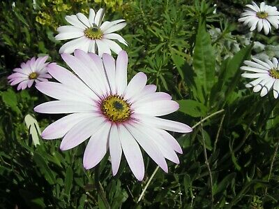 Osteospermum 'Pale Face' - HARDY - FREE P/P OFFER AVAILABLE • 5£