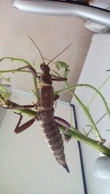 25 Stick Insect Eggs Eurycantha Calcarata Giant    • 3.49£