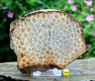 Fossil Coral / Flower Stone Petrified  Polished Slab Specimen 520g • 68.17£