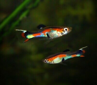 $14.99 • Buy Endlers Guppies Fry / Juveniles Lot Of 5 Male Endlers Livebearers Live Fish
