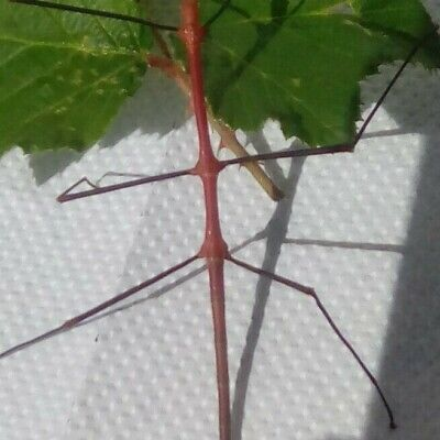 10 ILICOS (MALES ARE BRIGHT RED + 10 (Viet) Ramulus Artemis.Stick Insect Eggs • 1.99£