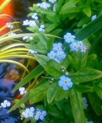 £3 • Buy Myosotis Scorpioides (palustris) (Blue Water Forget-me-not) 3 Rooted Cuttings.