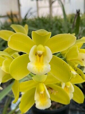 AU15 • Buy *New Release* Cymbidium Mem. Jacqueline Oyston 'Clear Lime'
